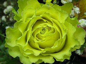 Элегантная зеленая роза