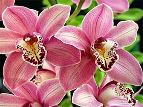символизм орхидей