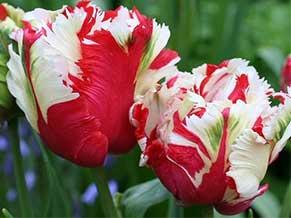 сорта тюльпанов с описанием