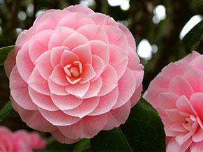 Камелия японская