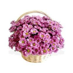 Фото композиции из хризантем в кашпо