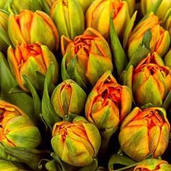 букет попугайных тюльпанов.jpeg