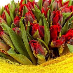 красные попугайные тюльпаны.jpeg