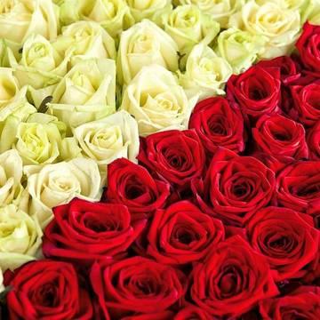 красно-белый союз великолепных роз.jpeg