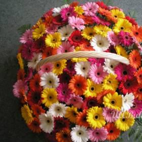 Разноцвветные герберы в корзине -  фото