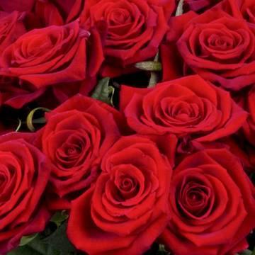 блестящие лепестки прекрасной розы.jpeg