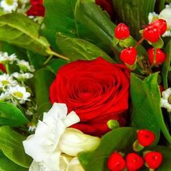 алая роза только из цветника.jpeg